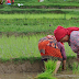 Increase in paddy production in Palpa
