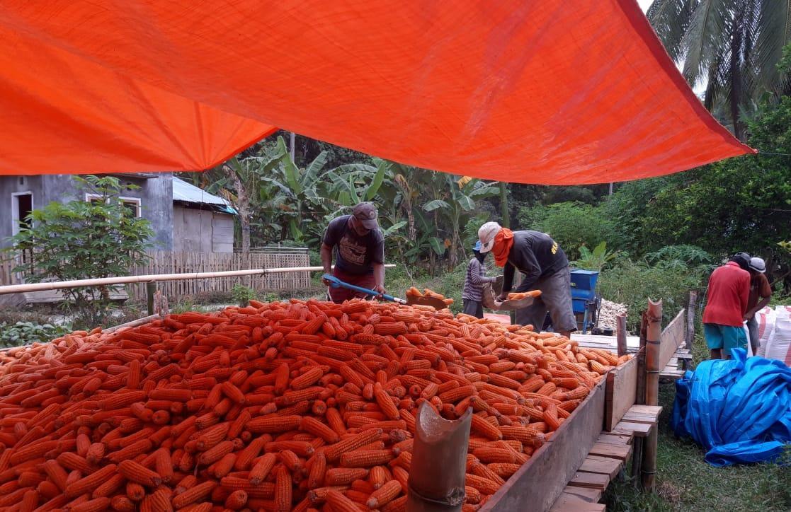 Berhasil Manfaatkan Bantuan Benih dan Subsidi Pupuk, Bolmong Utara Panen Jagung