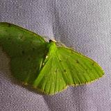 Lissochlora pectinifera (Prout, 1916). Mount Totumas, 1900 m (Chiriquí, Panamá), 22 octobre 2014. Photo : J.-M. Gayman