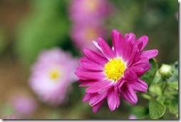 margaritas flores (64)