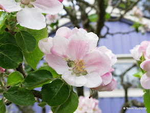 Photo: Apple Blossom, Findhorn Foundation