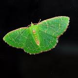 MothsFromNSWAustralia