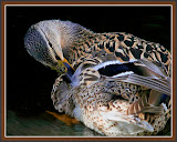 """Preening"" by Ardythe Wendt - 2nd Place General A"