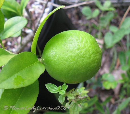 [08-23-mex-key-lime%5B4%5D]