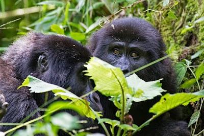 Gorilla 3.jpg