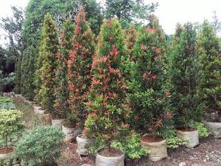 Jual Pohon Pucuk Merah Murah,Jual Tanaman HiasPucuk Merah