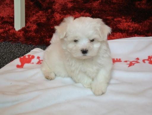 Cathys Maltese Dog Breeder