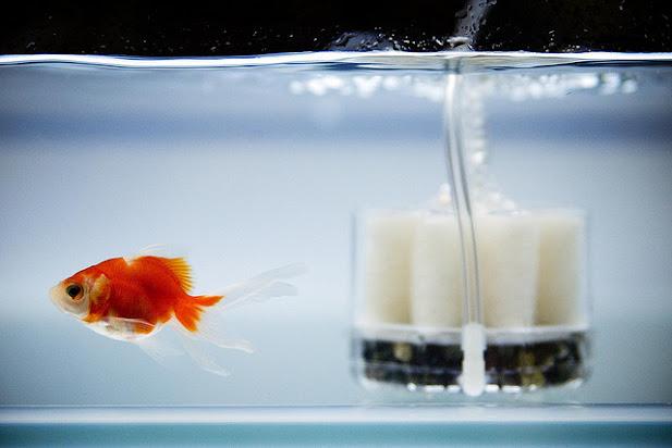 Cách nuôi cá vàng không chết