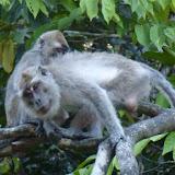 Macaques à longue queue (Macaca fascicularis). Sukau, 14 août 2011. Photo : J.-M. Gayman