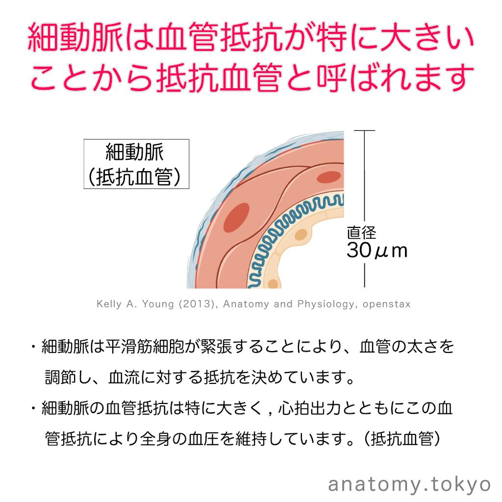 t212-07-細動脈は抵抗血管.png