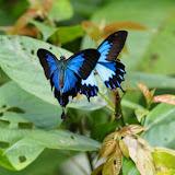 Papilio ulysses telegonus C. & R. FELDER, 1860, mâles. Balitro, Pulau Bacan (Moluques, Indonésie), 7 septembre 2013. Photo : Eko Harwanto