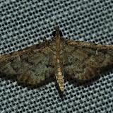 Peut-être : Crambidae : Pyraustinae : Pleuroptya tenuis WARREN, 1896. Umina Beach (N. S. W., Australie), 1er janvier 2012. Photo : Barbara Kedzierski