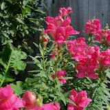 Gardening 2011 - 100_8555.JPG