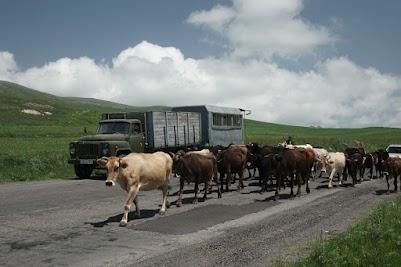 Kühe auf der Hauptsraße M2