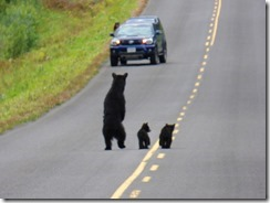 Mama Bear takes on car to protect two cubs, Cassiar Highway