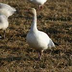 2013_01_01_Snow_Geese