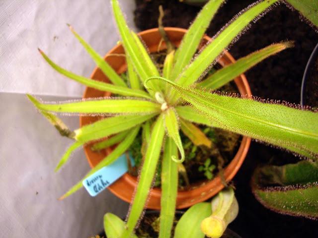 photos de mes orchidées en fleur - Page 2 IMGP4848