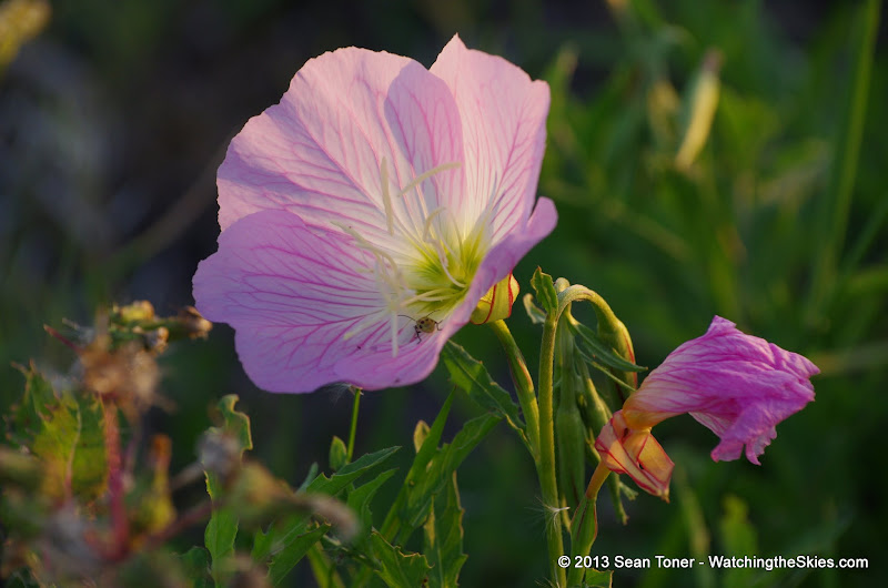 2013 Spring Flora & Fauna - IMGP6349.JPG