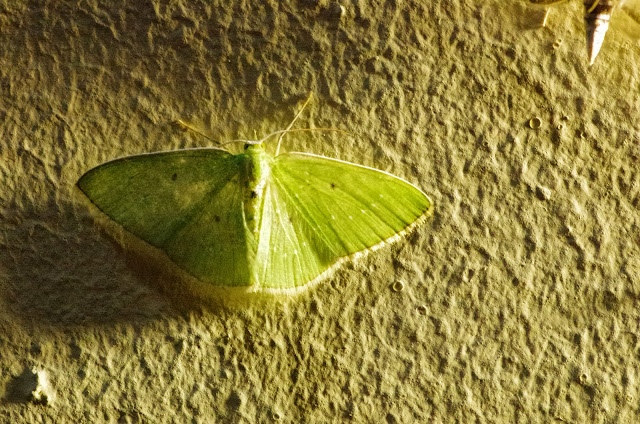 Lissochlora ronaldi Pitkin 1993. El Valle de las MInas, 1100 m (Chiriquí, Panamá), 27 octobre 2014. Photo : J.-M. Gayman