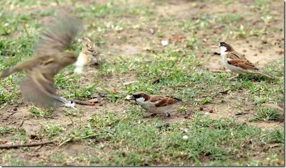 small sparrows