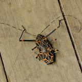 Acrocinus longimanus LINNAEUS, 1758, femelle. Amazone Nature Lodge, Montagne de Kaw (Guyane). 18 novembre 2011. Photo : J.-M. Gayman