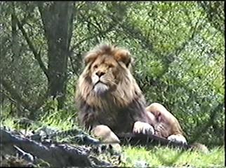 1998.09.09-010 lion