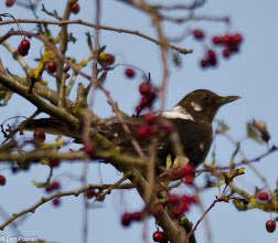 Photo: Leucistic Blackbird