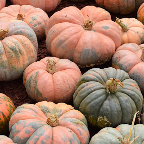Pumpkins 3 by Keith Heinly - Food & Drink Fruits & Vegetables ( farm, pumpkin, georgia, jasper, burt's )