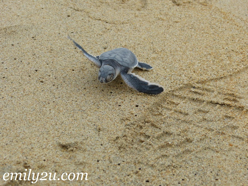 turtle hatchery Terengganu