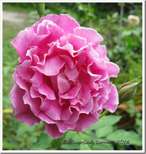 12-15-carnation2
