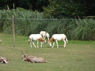 2016.09.02-040 oryx algazelles