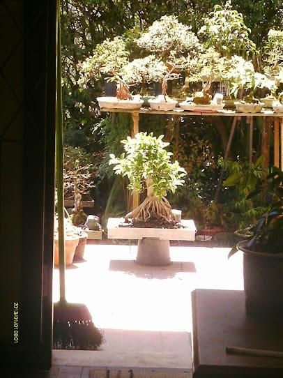 Ficus Microcarpa var. Indica... - Página 2 IMAG0001