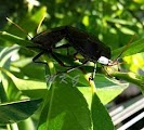 Brown Citrus Pest