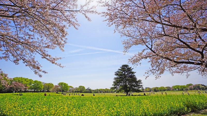 昭和記念公園 桜 写真19