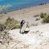 Pinguim - Península Valdez, Argentina