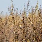 Черноголовый щегол (Carduelis carduelis)