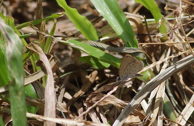 Zizina antanossa MABILLE, 1877, mâle. Yaoundé (Cameroun), 4 avril 2012. Photo : J.-M. Gayman