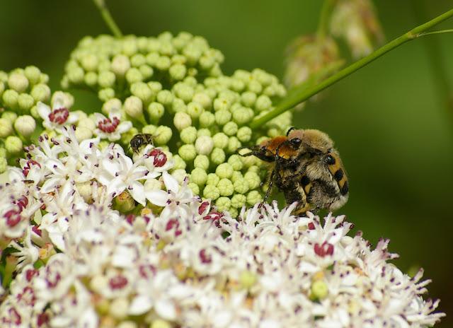 Scarabaeidae : Trichius zrosaceus Voët, 1769. Les Hautes-Lisières (Rouvres, 28), 11 juin 2011. Photo : J.-M. Gayman