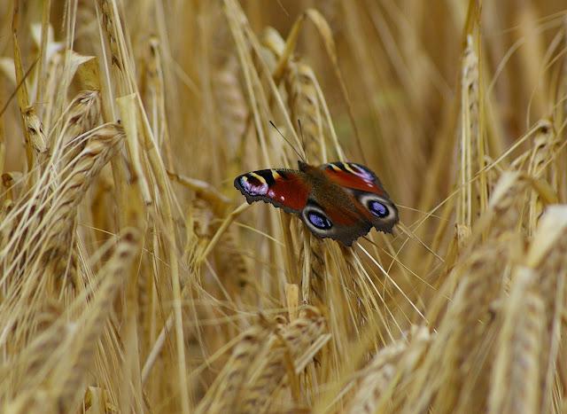 Inachis io LINNAEUS, 1758, se réfugiant dans les blés par temps nuageux. Les Hautes-Lisières, 11 juillet 2009. Photo : J.-M. Gayman
