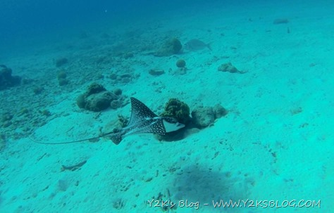 Eagleray - Bonaire
