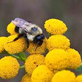 bumblebee-on-tansy_MG_8741-copy.jpg
