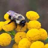 bumblebee-on-tansy_MG_8741-copy.jpg