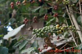 caféier Vietnam.jpg