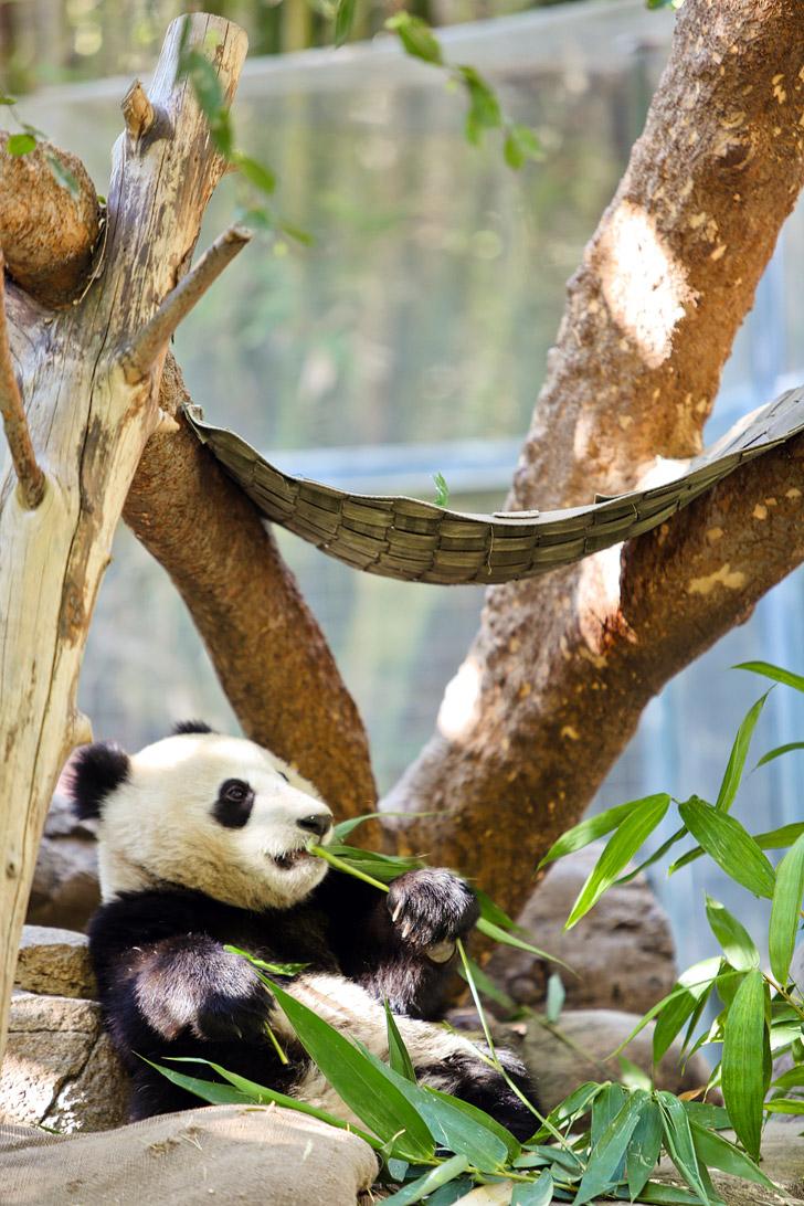San Diego Zoo Panda Baby.