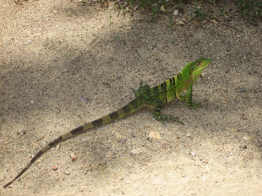 Young Iguana in Playa Grande, Costa Rica