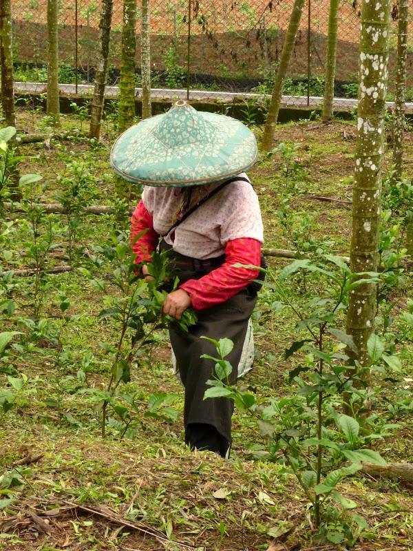 Puli, Nantou county, cueillette de thé - P1050595.JPG