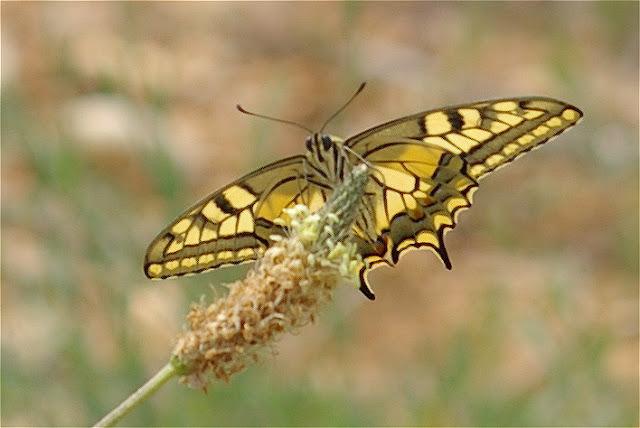 Papilio machaon LINNAEUS, 1758. Bages (Pyr. Orientales), juin 2006. Photo : J.-M. Gayman