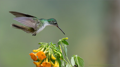 Andean Emerald  A beauty dancing in the flowers.  This wonderful hummingbird just seemed so sweet, hovering...