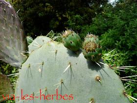 cactus figues de barbarie.jpg