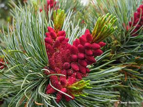 Photo: Pinus parviflora, Cruickshank Garden, Aberdeen